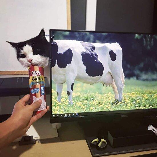Zaten inek dediğin kakaolu süt içer...