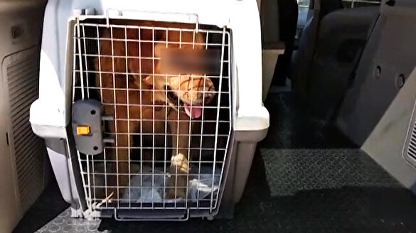 İki gözü oyulmuş 'Golden' cinsi köpek bulundu