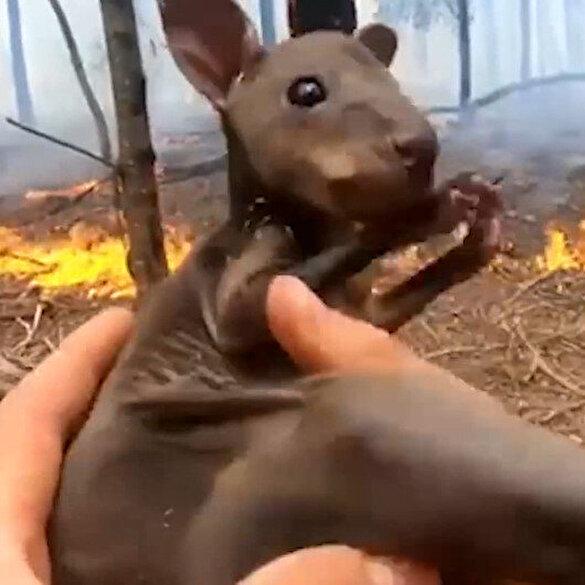 Yavru kangurunun yangından kurtarılma anları saniye saniye kaydedildi