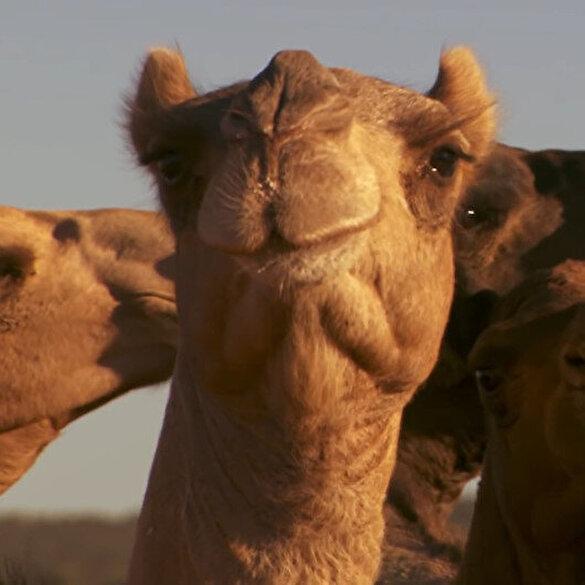 Avustralya'da 10 bin deve su kaynaklarını tükettikleri gerekçesiyle katledilecek