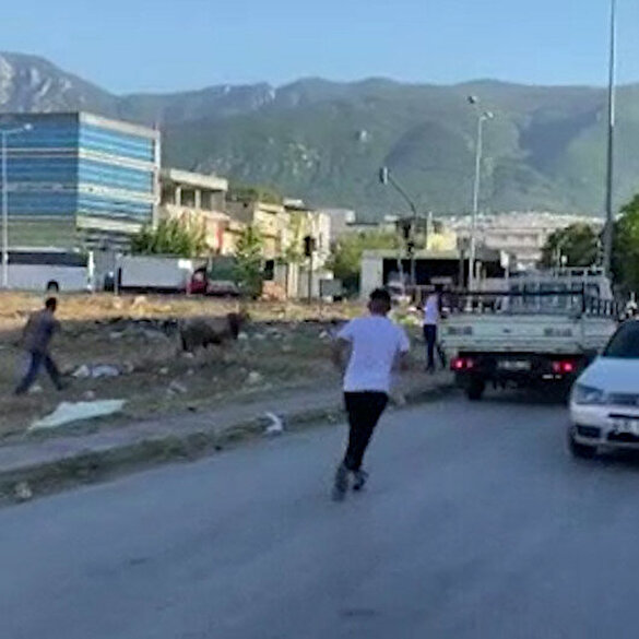 Bursa'da kaçan kurbanlık iğneyle vurulduktan sonra yakalandı