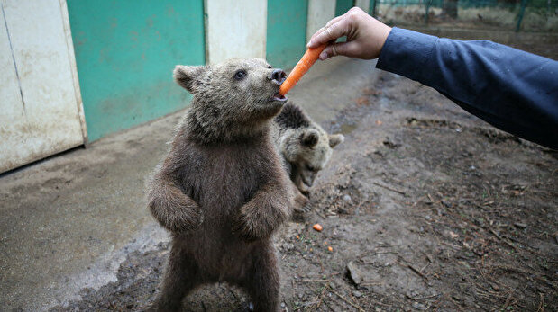 Bears prepare for hibernation with 400 kg of food every day in Turkey
