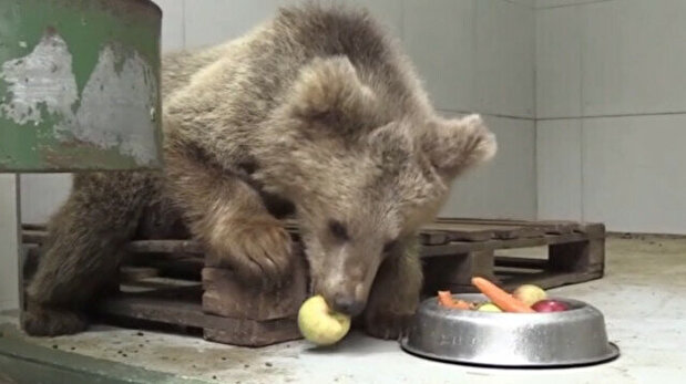 Blind bear cub regains sight thanks to Turkis...