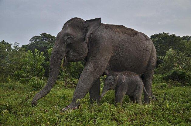 Indonesia's endangered Sumatran elephants