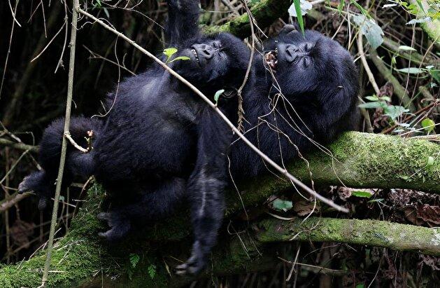 Endangered gorillas in Rwanda