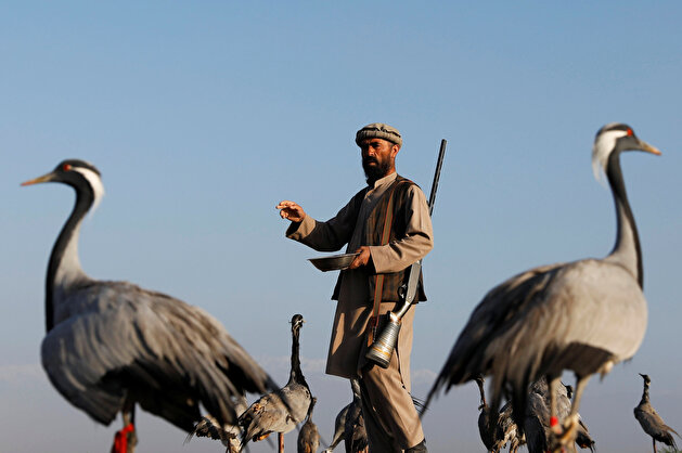 Jan Agha, 49, an Afghan hunter, feeds his cranes at a field in Bagram, Parwan province