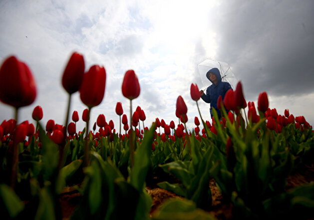 Colorful tulips are seen through a field of tulips in Konya