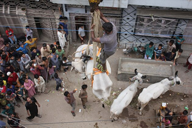 Sacrificial cattle get crane lifted from Karachi rooftop