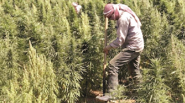 US-backed PKK moves drug cultivation industry to Syria's Manbij
