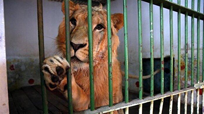 Saddam'ın aslanları, ayrıcalıklı günlerini arıyor