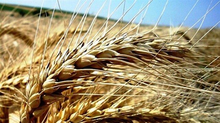 10 bin yıllık buğday için geri sayım başladı