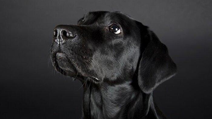 Suç örgütü, polis köpeğinin başına 70 bin dolar para ödülü koydu: Köpeğin görev yeri değişti