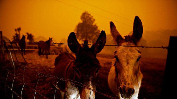 Avustralya'da develerle birlikte atlar da itlaf edilecek