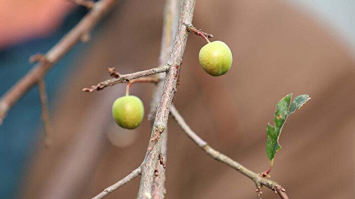 Mevsimler iyice karıştı: Rize'de erik ve karayemiş ağaçları kış ortasında meyve verdi