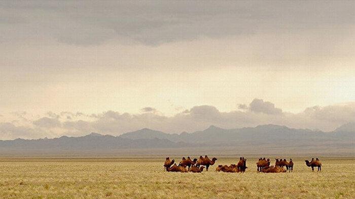 Avustralya kendisiyle birlikte hayvanları da yok ediyor: 5 günde 5 bin deve öldürüldü