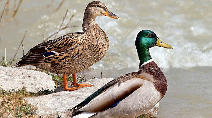 100 bin ördek, çekirge istilasına karşı görevlendirilecek