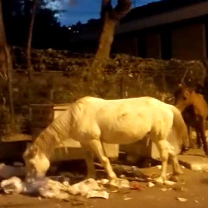 Büyükada'da yürek sızlatan görüntü: Başıboş bırakılan atlar çöpte yiyecek aradı