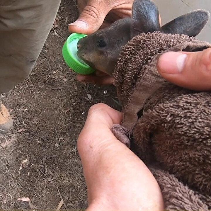Avustralya'da alevlerin arasından kurtarılan yavru kanguru