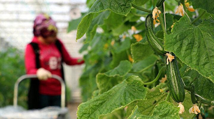 En soğuk ilçede kış ortasında domates ve salatalık üretiliyor