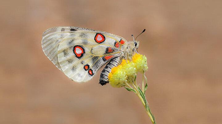 Aralarında esnaf ile 5 öğretmenin bulunduğu Erbaa Kelebek Ekibi 6 yılda 140 farklı kelebek türünü fotoğrafladı