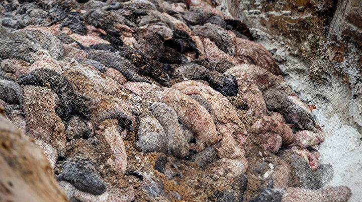 Danimarkada korkunç manzara: Gömülen vizonlar mezarlardan çıkmaya başladı