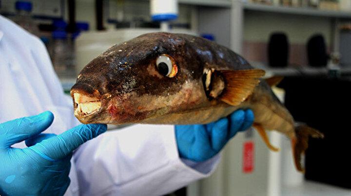 Gramı bir milyon euro: Balon balığının zehri, kanser hastalarının acılarını dindirmek için umut olabilir