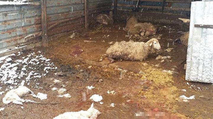 Karla kaplı ormanda aç kalan kurtlar köye inip 13 koyunu parçaladı