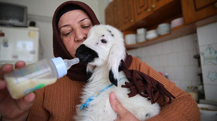 Kanser hastası kadının sahiplendiği kuzu onu tekrar hayata bağladı