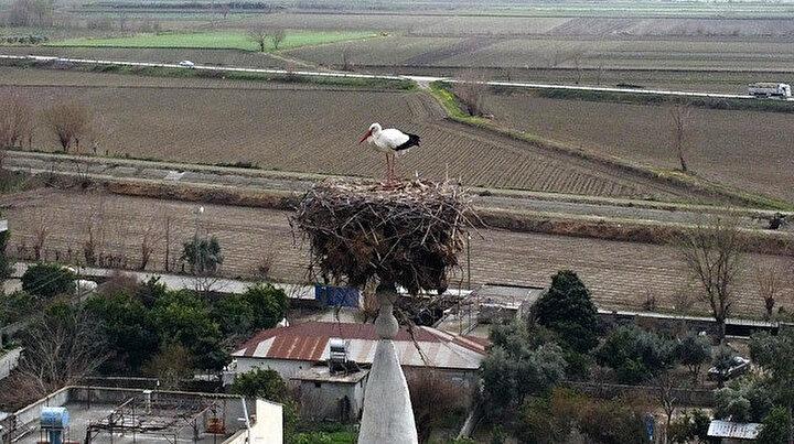 35 yıldır aynı caminin minaresine yuva kuruyorlar: Bu leylekler köyün simgesi oldu