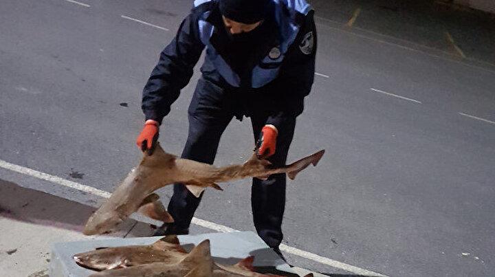 Yasağa rağmen avladılar: Balık halinde 8 tane camgöz köpekbalığına el konuldu