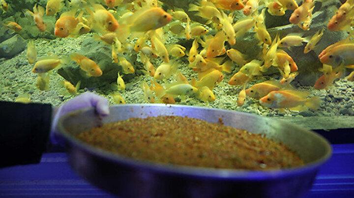 Dev akvaryumdaki balıklar sebze ve meyve ile besleniyor