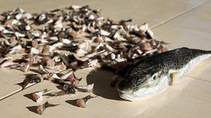İstilacı balon balığının kuyruk teşviki: Balıkçıların yüzü güldü