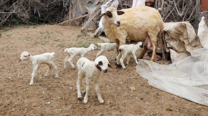 Bir batında 7 kuzu doğuran koyun şaşırttı: Daha önce duymamıştık