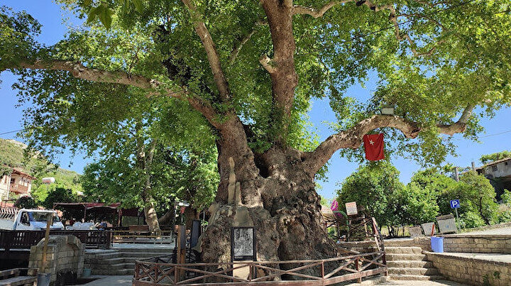 3 bin yıllık Musa ağacı pandemide sessizliğe büründü