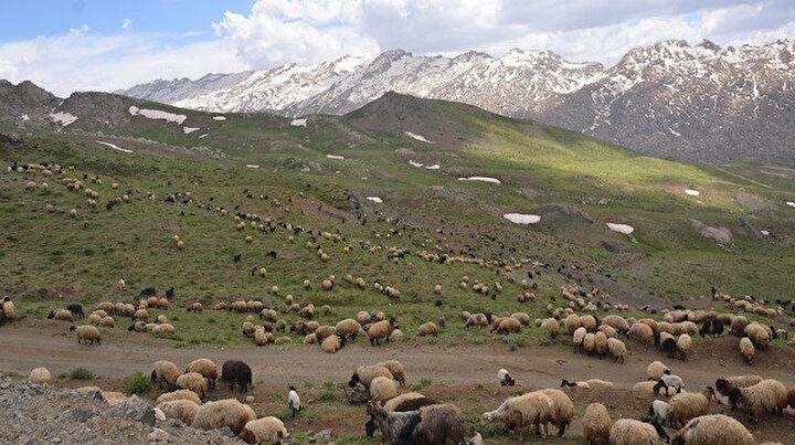Yasaklar kalkınca göçer akını başladı: Karlı dağlardaki hayvan sayısı son yılların en yüksek rakamına ulaştı