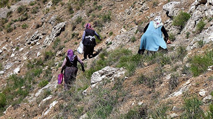 Sivasta kadınlar dik yamaçlara çıkıp topluyor: Bardağı 20 liradan satılıyor
