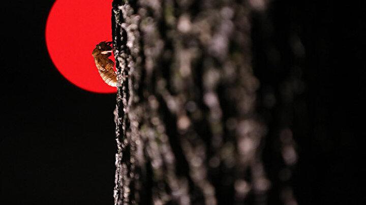 Kuzey Amerikanın ağustos böcekleri 17 yıl aradan sonra üremek için tekrar yeryüzüne çıktı