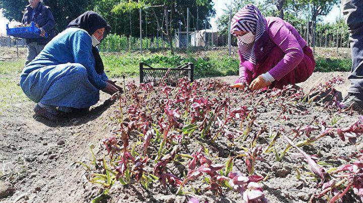 Orduda fındık bahçeleri olan çift salep de üretmeye başladı: Kilosu 150 liraya satılıyor