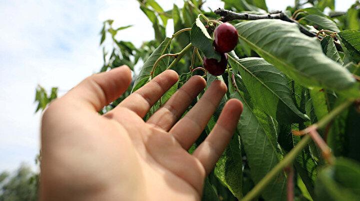 Gaziantepte hasadına başlandı: 40 ülkeye ihraç ediliyor