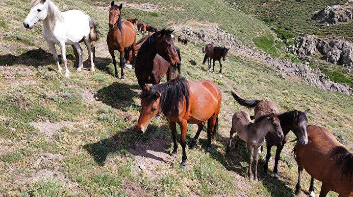 Yellibel Yaylasının yılkı atları 2 bin 300 rakımlı yaylada görüntülendi