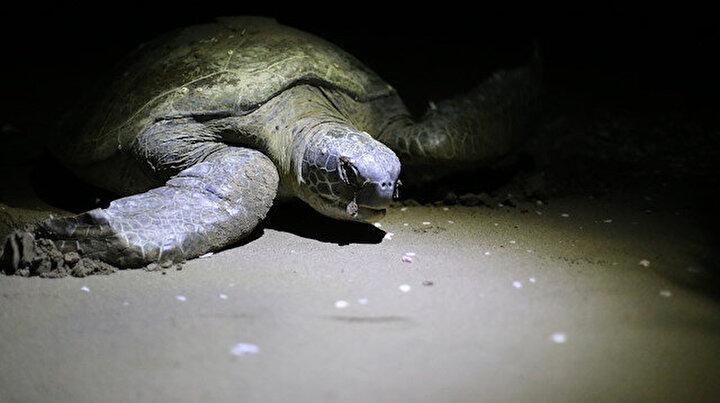 Yumurta bırakmaya başladılar: Adana'dan çıkan kaplumbağalar Kuzey Afrika'ya kadar gitti
