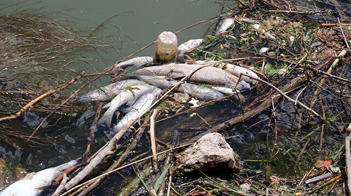 Kızılırmakta toplu balık ölümleri tedirgin ediyor: Kötü koku yayıyor