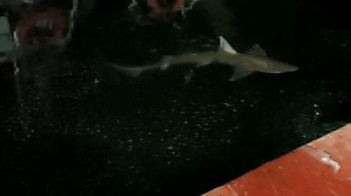 Haliçte köpek balığı: İki metrelik köpek balığı misinayı koparıp kaçtı