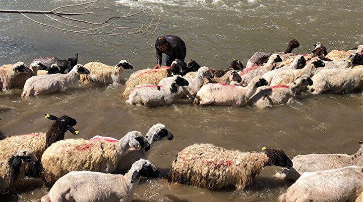 Kurban öncesi kırkılan koyunlar Kars Çayında yıkandı