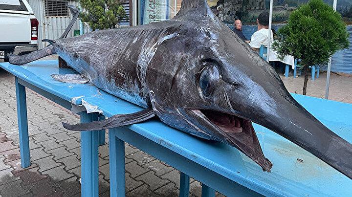 90 kiloluk dev: Saros Körfezi'nde yakalanan dev kılıç balığı ilgi gördü