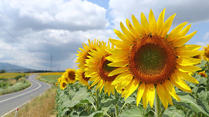 Kartpostal gibi: Tekirdağda ayçiçeklerinin açmasıyla tarlalar sarıya boyandı