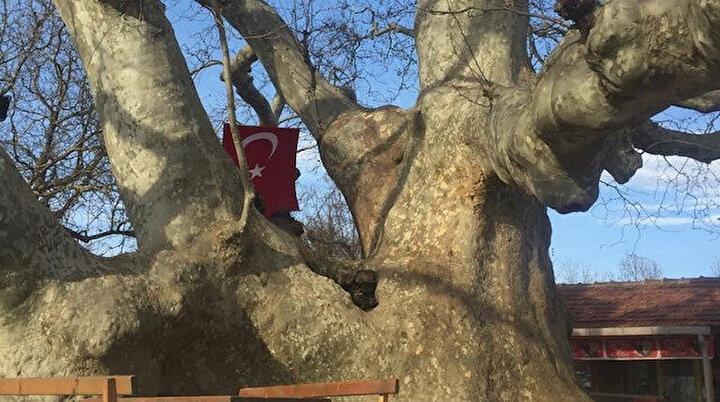İki imparatorluk battı, o çınar ağacı hala dimdik ayakta