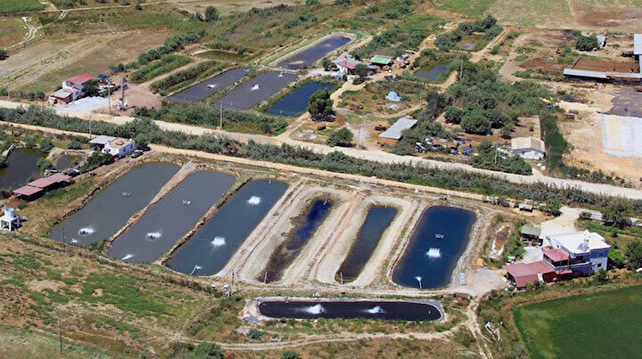 Türkiyede sadece Milasta bulunuyor: Toprak havuzda yetişen balıklar istihdama büyük katkı sağlıyor