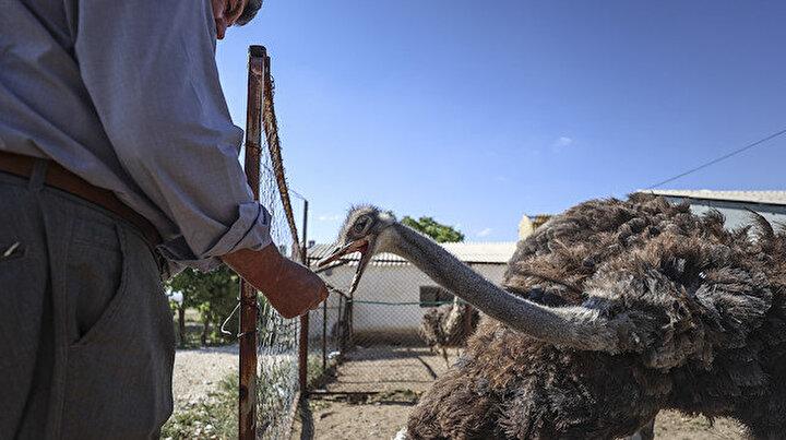 Çiftliğinde 26 yıldır deve kuşu yetiştiriyor: Taleplere yetişmekte zorlanıyorum