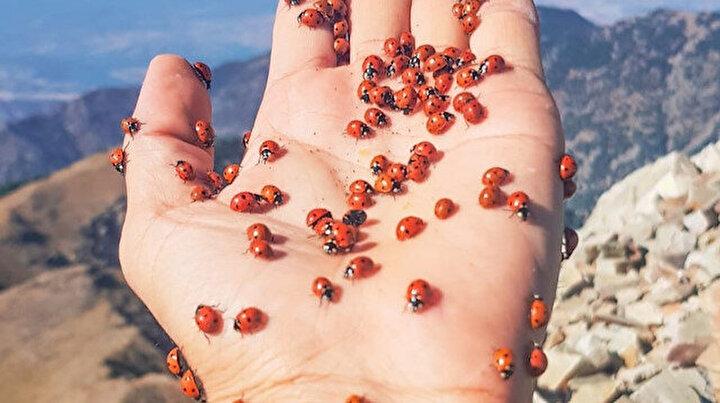 Kahramanmaraş'taki uğur böcekleri görsel şölene dönüştü